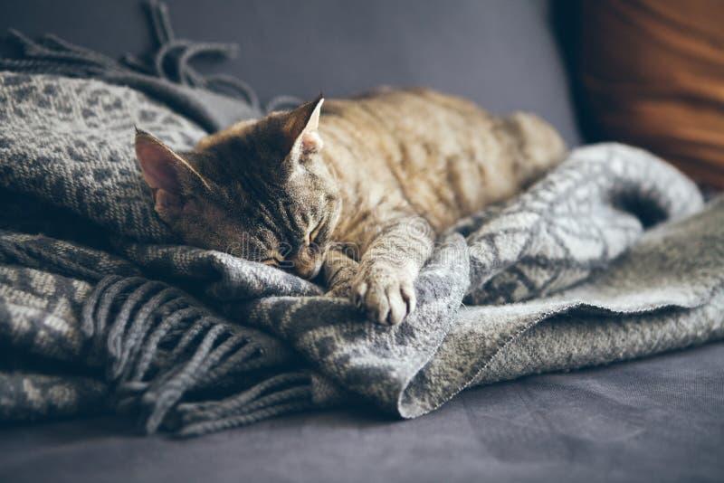 Gato de gato atigrado que duerme en la manta gris de las lanas de la tela escocesa con las borlas Gato el dormir - sue?o perfecto imagenes de archivo