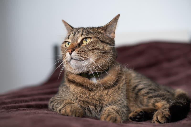 Gato de gato atigrado que miente en la cama y que mira a un lado con la visión egoísta fotografía de archivo