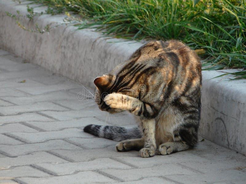 Gato de gato atigrado que se sienta en la acera y lavarse fotos de archivo