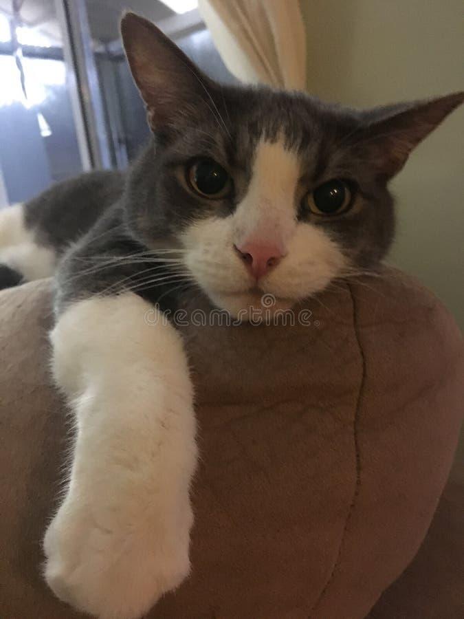 Gato de gato atigrado rescatado ahora un animal doméstico imagen de archivo libre de regalías