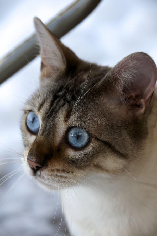 Gato de Bengal fotografia de stock
