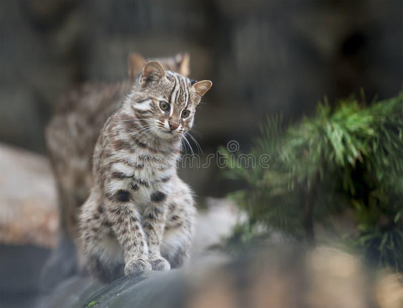 Gato de bengal do leopardo Euptilura do bengalensis do Felis de Prionailurus - o animal selvagem vive na floresta tropical tropic fotografia de stock royalty free
