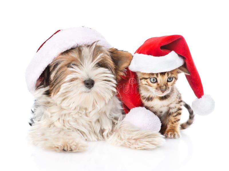 Gato de Bengal do Natal e de terrier de Biewer-Yorkshire cachorrinho no chapéu vermelho de Santa no branco fotografia de stock