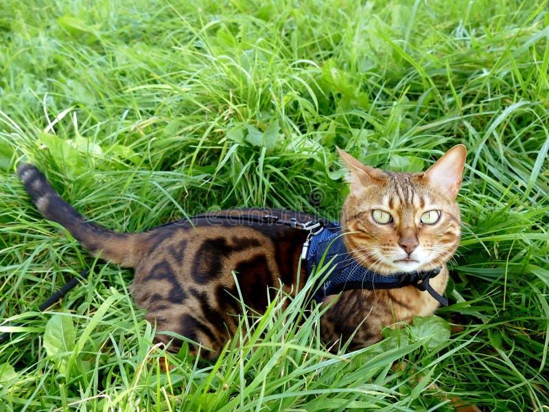 Gato de Bengal em um chicote de fios e em uma trela que encontram-se na grama fotografia de stock royalty free