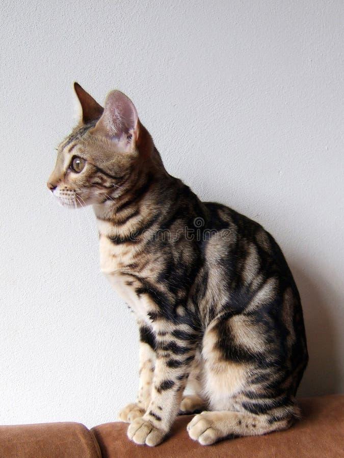 Gato de Bengal: Gato de mármore de bengal tomado em casa imagens de stock