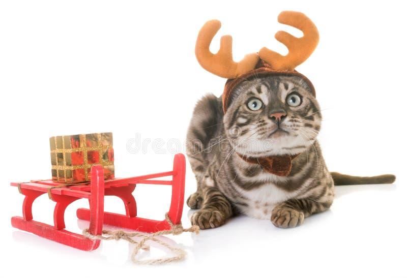Gato de Bengal horned foto de stock royalty free