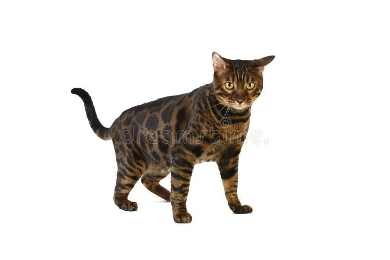 Gato de Bengal no fundo branco foto de stock