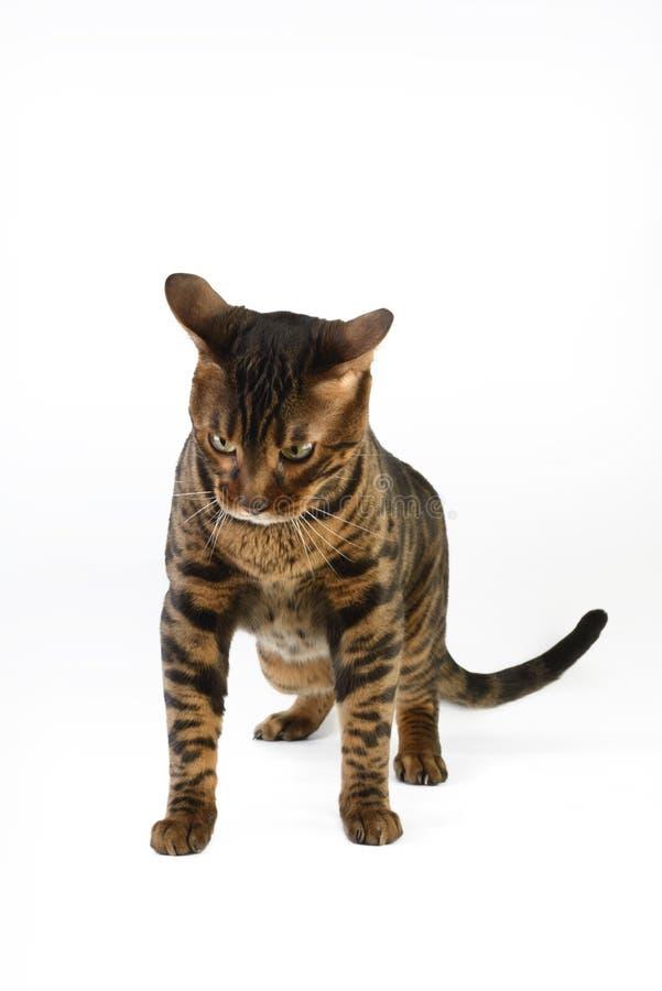 Gato de Bengal no fundo branco imagens de stock