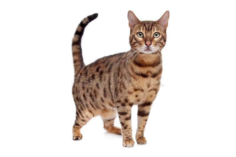 Gato de Bengala imagen de archivo libre de regalías