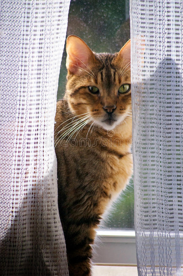 Gato de Bengala en ventana fotos de archivo