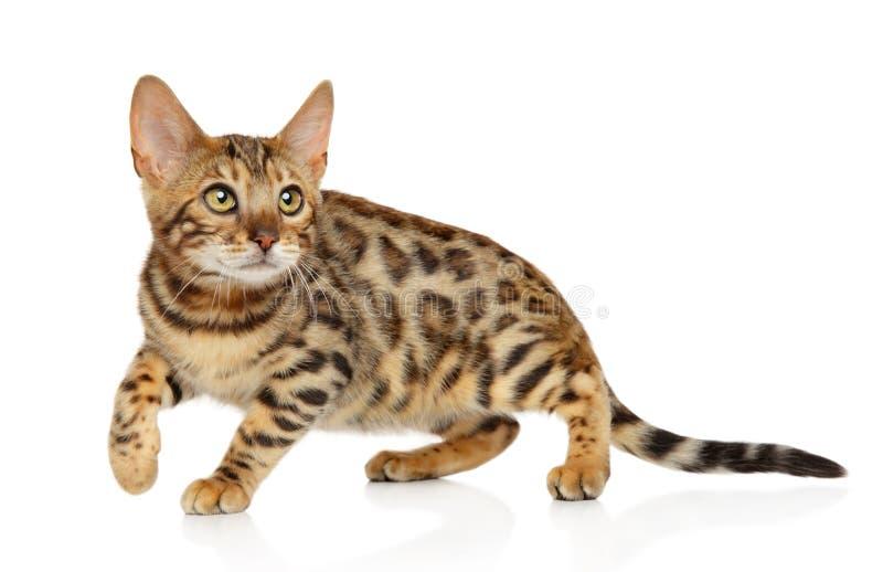 Gato de Bengala que juega en el fondo blanco imagen de archivo