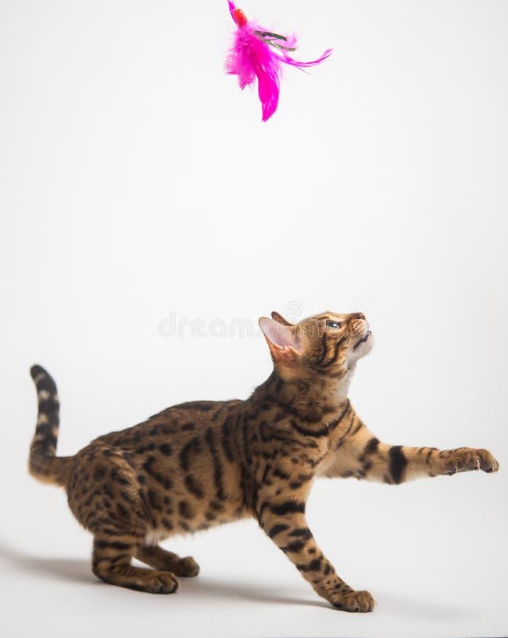 Gato de Bengala que juega en el fondo blanco imagenes de archivo