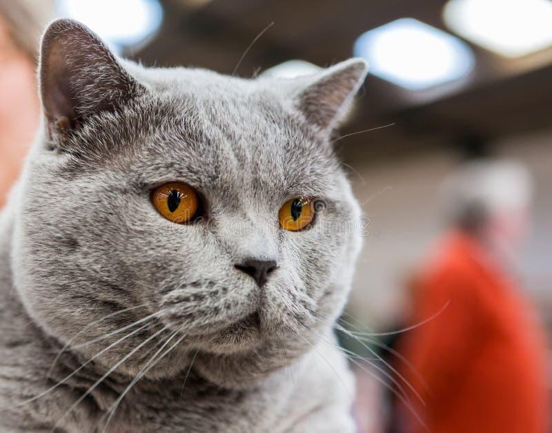 Gato de británicos Shorthair fotos de archivo libres de regalías