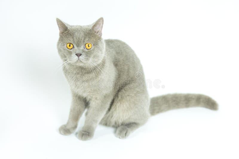 Gato de británicos Shorthair en blanco El sentarse, mirando la cámara foto de archivo