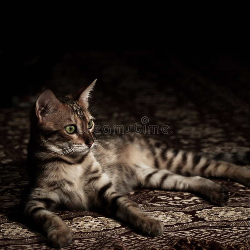 Gato de Brown Bengala fotos de archivo