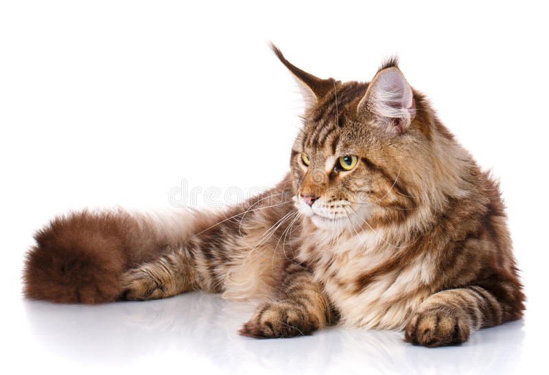 Gato de Brown Maine Coon que encontra-se no fundo branco fotografia de stock royalty free
