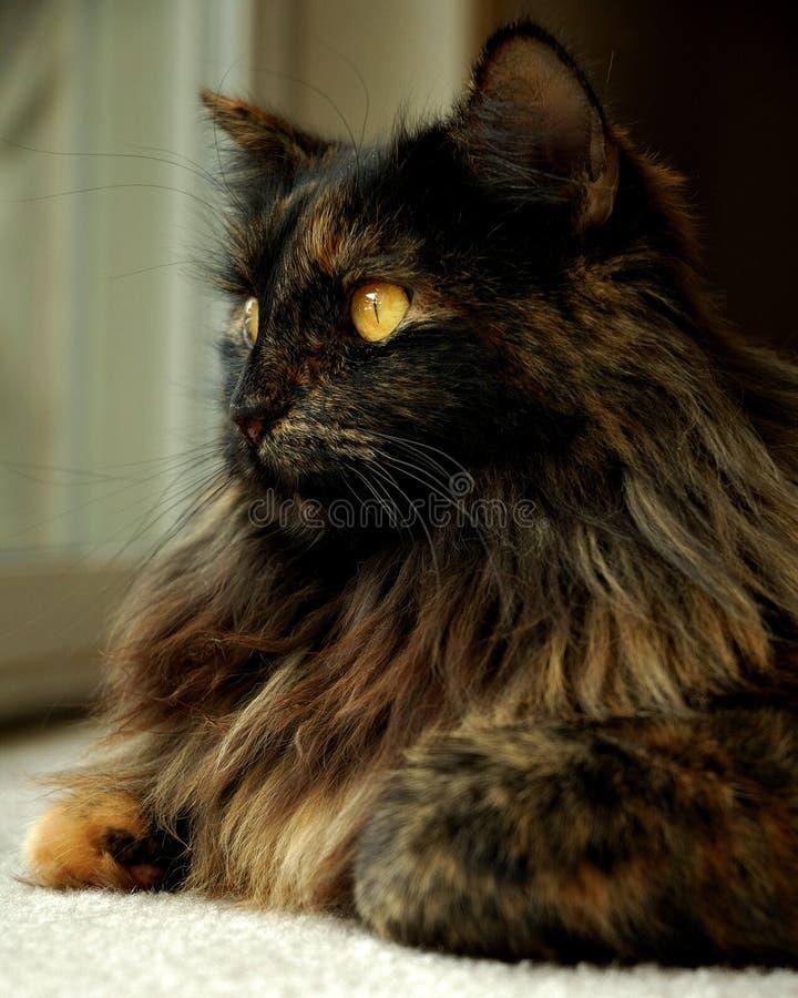 Gato de cabelos compridos foto de stock