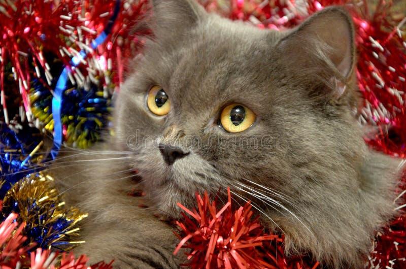gato de cabelos compridos britânico cinzento com chuva antes do ano novo imagens de stock royalty free