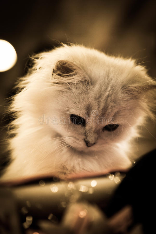 Gato de cabelos compridos do scottish do higlander fotos de stock royalty free
