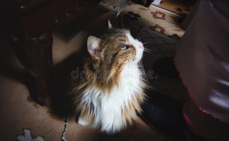 Gato de cabelos compridos no tapete que olha acima no proprietário imagem de stock royalty free