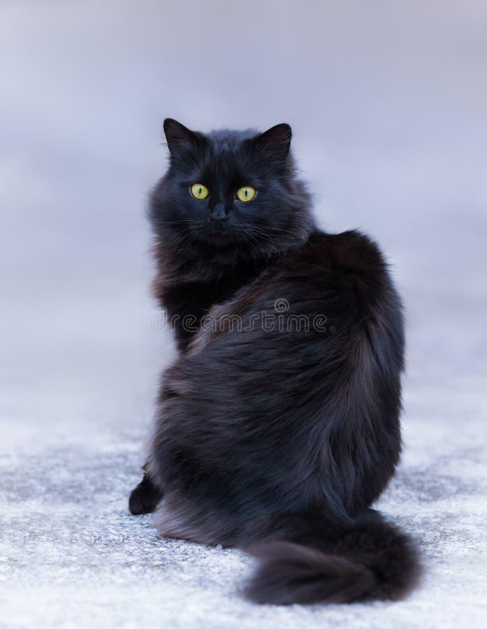 Gato de cabelos compridos preto imagem de stock