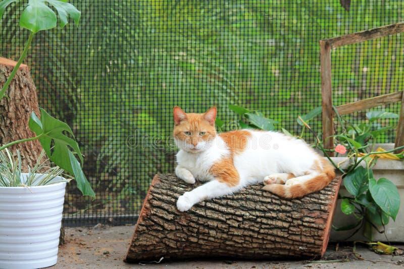Gato de cabelos curtos doméstico alaranjado e branco no log imagem de stock