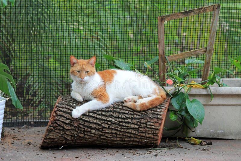 Gato de cabelos curtos doméstico alaranjado e branco no log fotos de stock royalty free