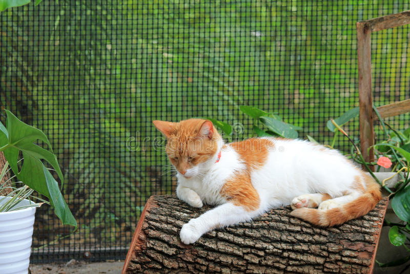 Gato de cabelos curtos doméstico alaranjado e branco no log fotografia de stock royalty free