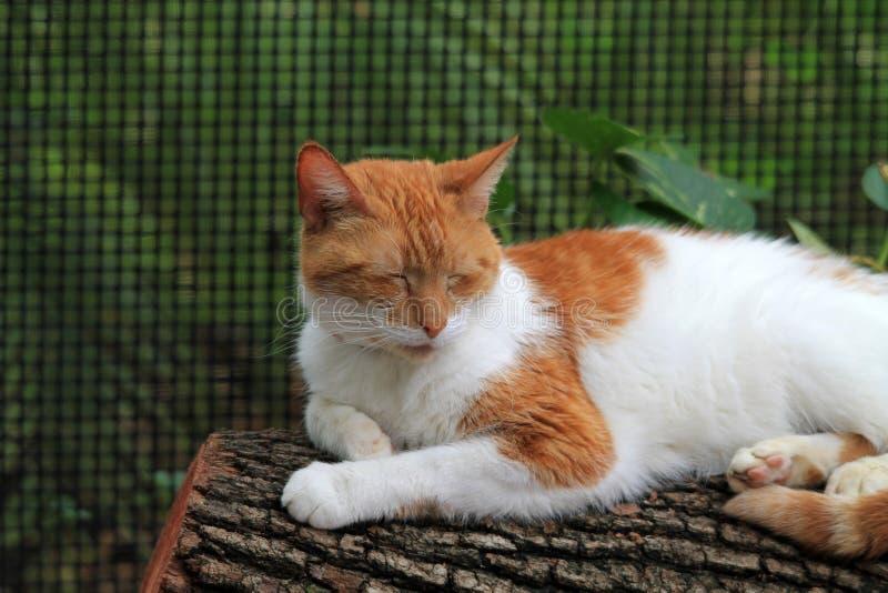 Gato de cabelos curtos doméstico alaranjado e branco no log foto de stock