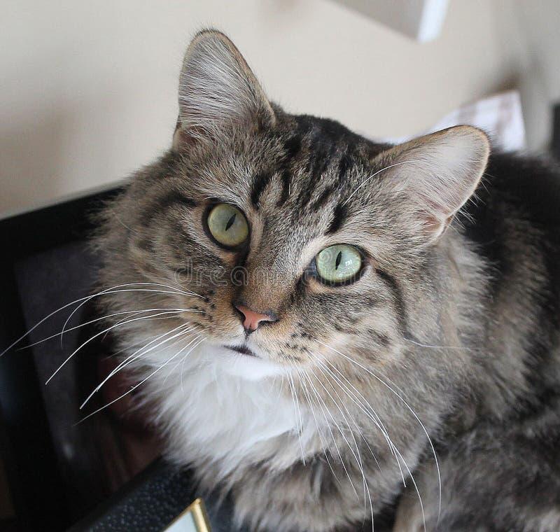 Gato de calicó fotografía de archivo