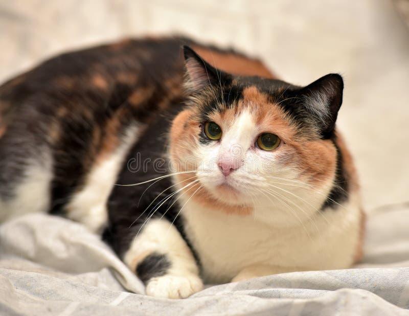 Gato de calicó fotografía de archivo libre de regalías