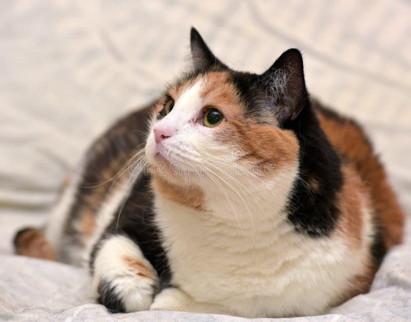 Gato de calicó foto de archivo