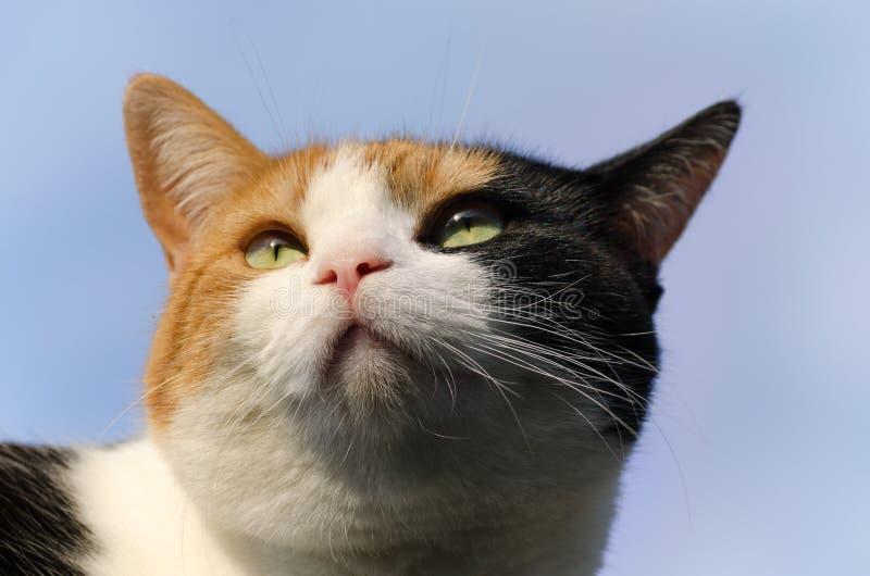 Gato de calicó con el cielo azul en el fondo fotografía de archivo