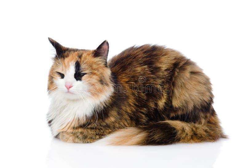 Gato de calicó el dormir Aislado en el fondo blanco fotos de archivo libres de regalías