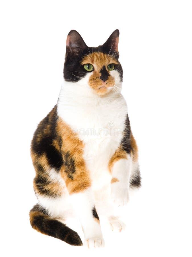 Gato de calicó en el fondo blanco imagen de archivo