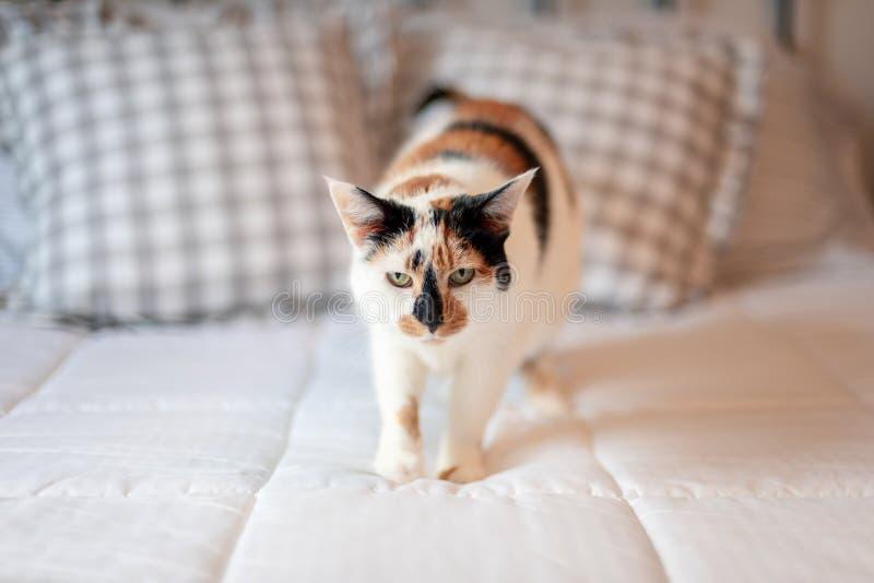 Gato de calicó en la cama en luz de la mañana imagen de archivo libre de regalías