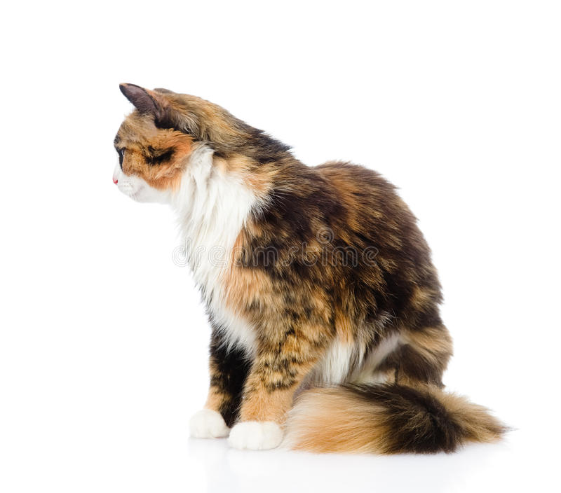 Gato de calicó en perfil Aislado en el fondo blanco fotografía de archivo libre de regalías