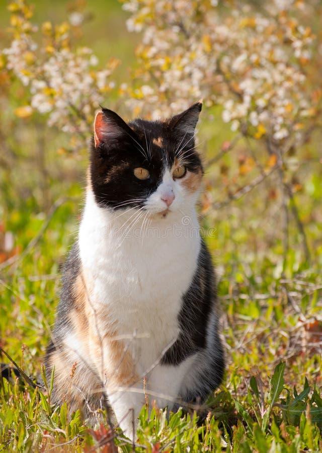 Gato de calicó en sol fotografía de archivo libre de regalías