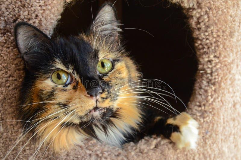 Gato de calicó en un scratcher del gato de casa del gato imagenes de archivo
