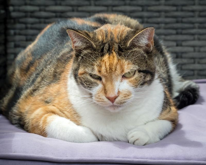 Gato de calicó gordo que descansa sobre banco rellenado imagenes de archivo