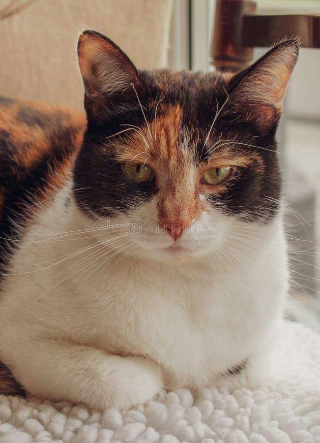 Gato de calicó de la concha que miente en silla de la cocina foto de archivo