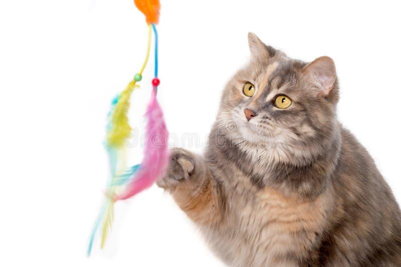 Gato de calicó que juega con un juguete imágenes de archivo libres de regalías
