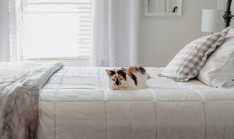 Gato de calicó que pone en la cama blanca fotografía de archivo libre de regalías