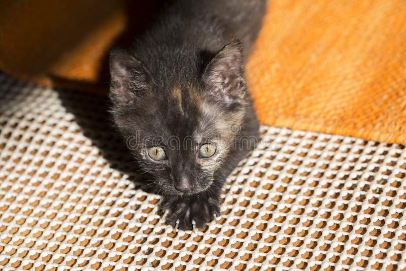 Gato de calicó viejo de pocas semanas, caza del gatito imagen de archivo libre de regalías