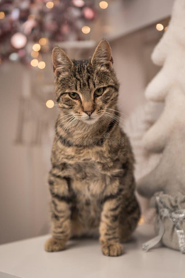 Gato de casa que se sienta en una tabla con la decoración de la Navidad fotos de archivo libres de regalías