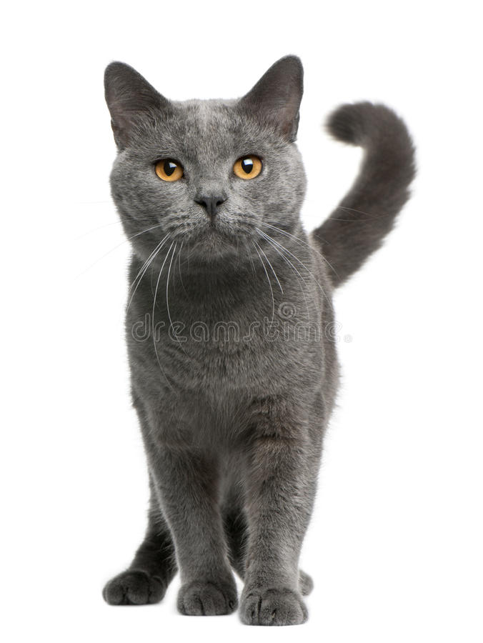 Gato de Chartreux, 16 meses, colocándose fotos de archivo