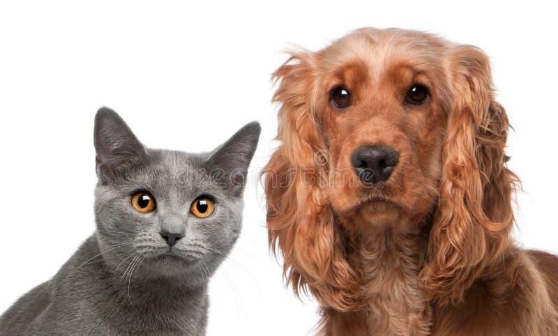 Gato de Chartreux, 5 meses, y Cocker Spaniel inglés, 2 años fotos de archivo