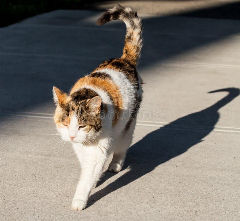 Gato de chita e sua sombra no passeio imagens de stock