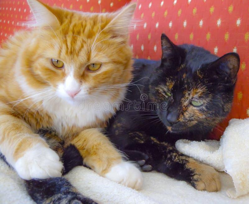 Gato de chita escuro de afago do vey do gengibre e do gato branco e assento sobre imagem de stock