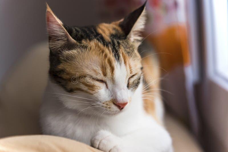 Gato de chita fêmea que dorme na frente da janela imagem de stock